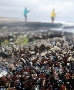 mussel-chowder